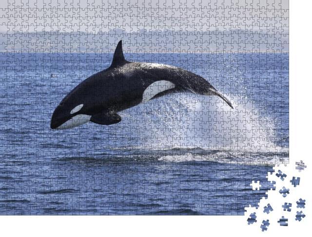 """Puzzle 1000 Teile """"Schwertwal, Orcinus Orca, beim Sprung aus dem Wasser"""""""