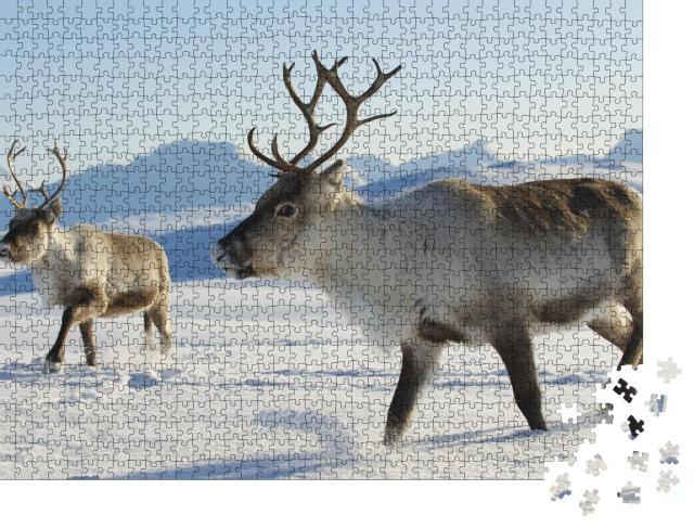 """Puzzle 1000 Teile """"Rentiere im Norden von Norwegen"""""""