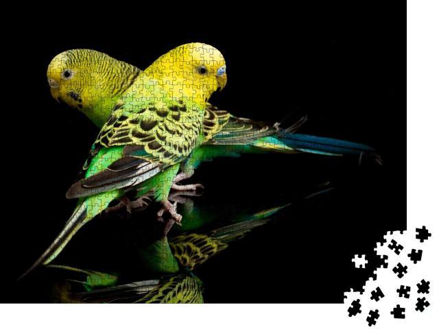 """Puzzle 1000 Teile """"Ein Paar Wellensittiche, Melopsittacus undulatus, isoliert auf schwarzem Hintergrund"""""""