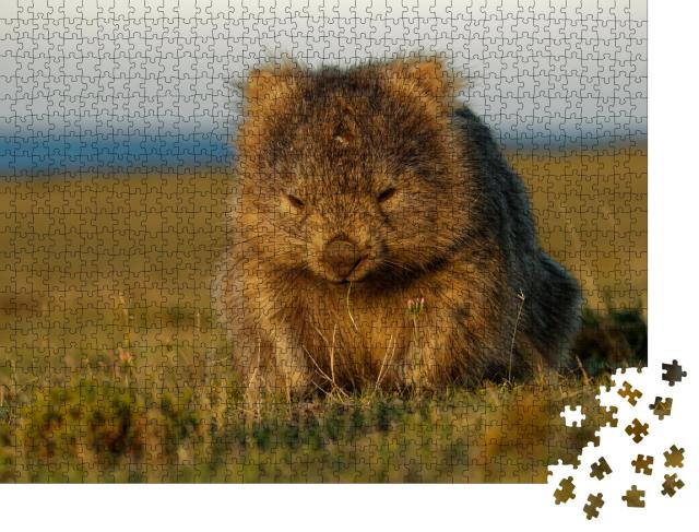 """Puzzle 1000 Teile """"Ein Wombat im tasmanischen Abendlicht, Australien"""""""