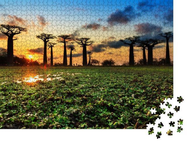 """Puzzle 1000 Teile """"Uralte Baobab-Bäume an der Allee der Baobabs, Madagaskar"""""""