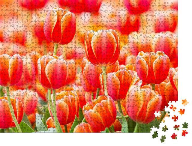"""Puzzle 1000 Teile """"Nahaufnahme einer schönen roten Tulpe, Niederlande"""""""