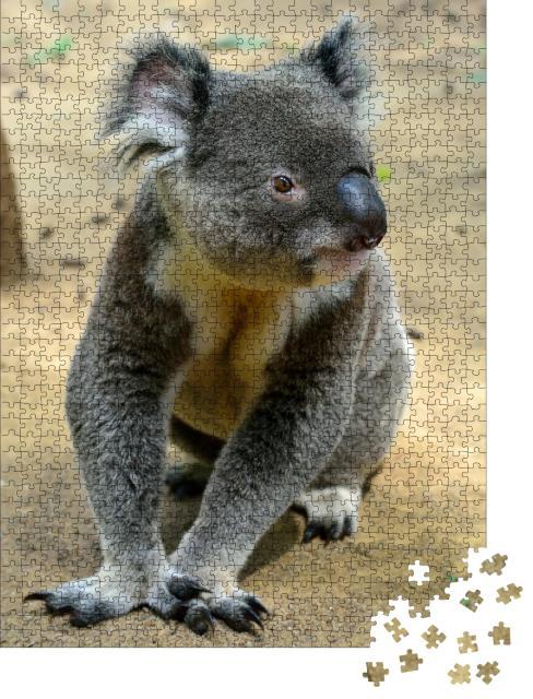"""Puzzle 1000 Teile """"Koala, auf dem Boden sitzend, Queensland, Australien"""""""