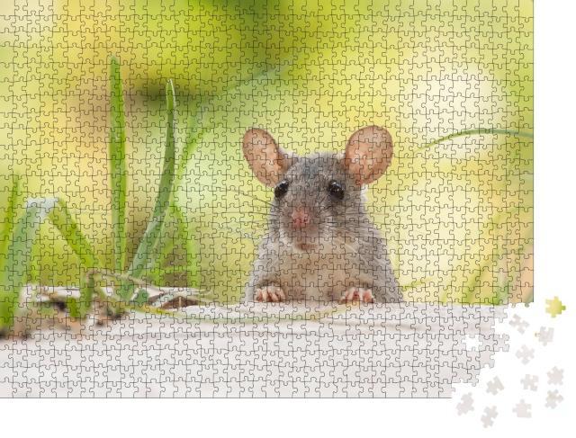 """Puzzle 1000 Teile """"Ratte mit großen Ohren im Freien, Hof, grünes Gras"""""""