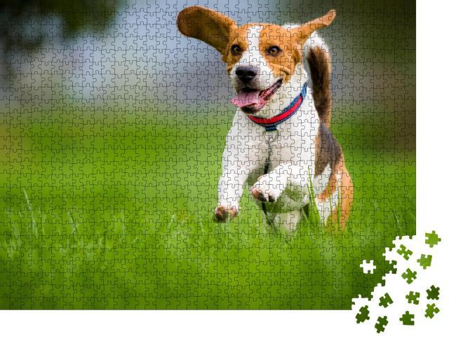 """Puzzle 1000 Teile """"Beagle mit heraushängender Zunge im Frühjahr"""""""