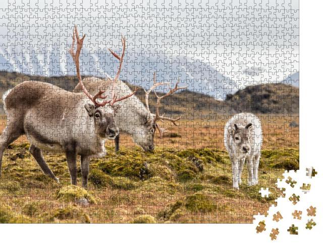 """Puzzle 1000 Teile """"Rentierfamilie beim Grasen, Spitzbergen"""""""