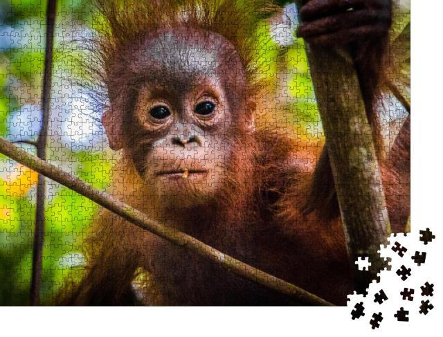 """Puzzle 1000 Teile """"Das niedlichste Orang-Utan-Baby der Welt blickt in Borneo in die Kamera"""""""
