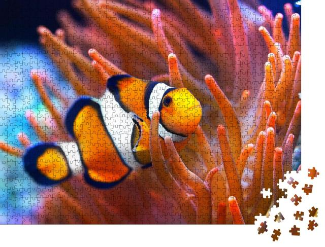 """Puzzle 1000 Teile """"Amphiprion ocellaris, Clownfisch, Meer"""""""