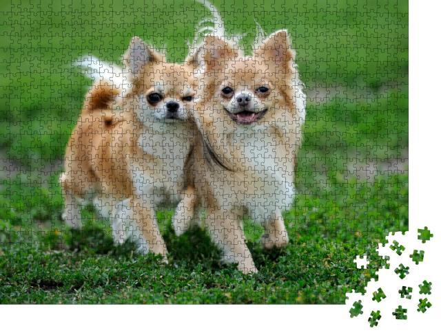 """Puzzle 1000 Teile """"Zwei langhaarige Chihuahua-Hunde im grünen Sommergras"""""""