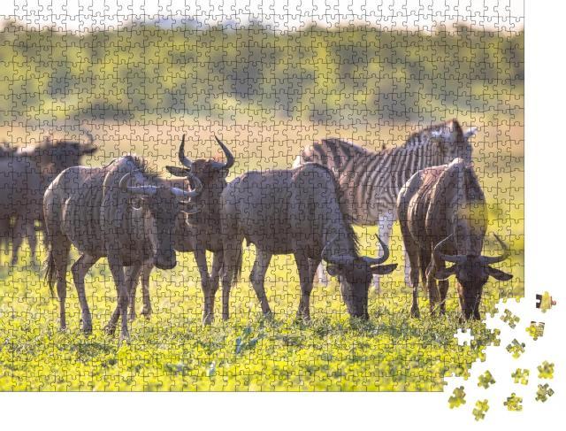 """Puzzle 1000 Teile """"Gnus beim Grasen im Mooiplaas-Flussbett, im Hintergrund ein Zebra"""""""