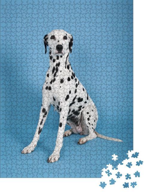 """Puzzle 1000 Teile """"Dalmatiner: beliebter Hund vor blauem Hintergrund"""""""