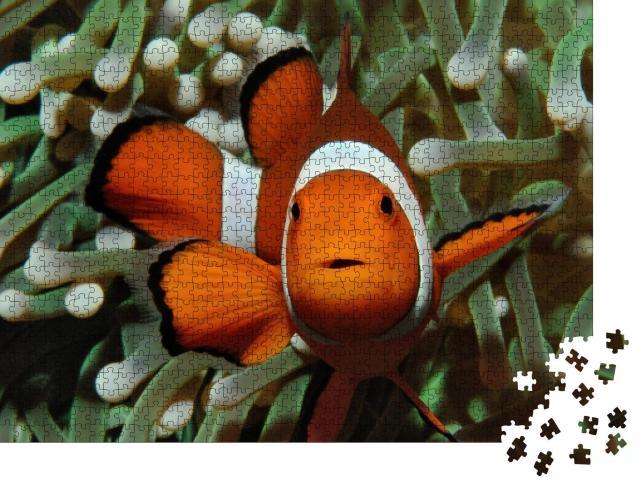 """Puzzle 1000 Teile """"Gut versteckt: Amphiprion, Westlicher Clownfisch mit Anemone"""""""