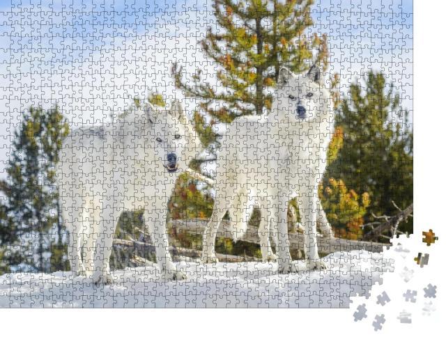 """Puzzle 1000 Teile """"Zwei Waldwölfe in wilder Schneelandschaft"""""""