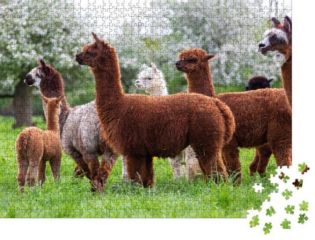 """Puzzle 1000 Teile """"Alpaka-Herde auf einer Frühlingswiese, südamerikanische Säugetiere"""""""