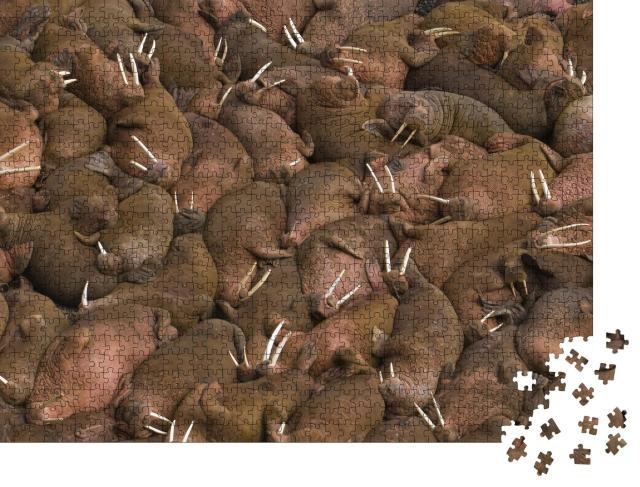 """Puzzle 1000 Teile """"Tausende von Walrossen beim gemeinsamen Sonnenbad auf Round Island, Alaska, USA"""""""
