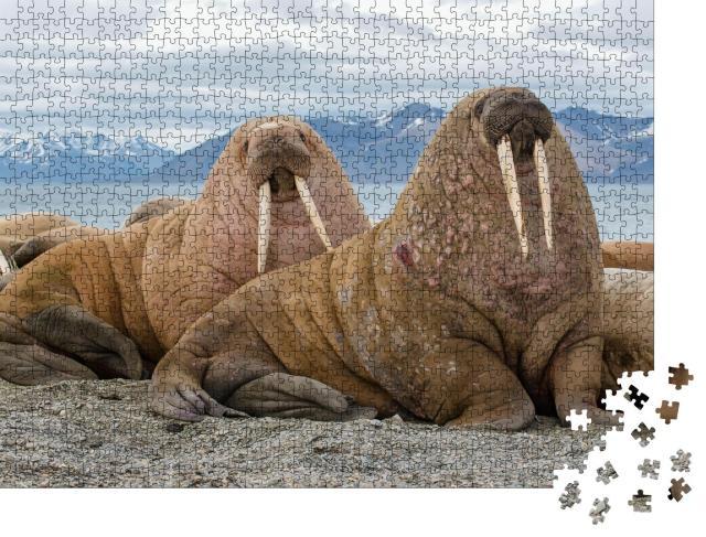 """Puzzle 1000 Teile """"Majestätische Walrosse in ihrem natürlichen Lebensraum"""""""