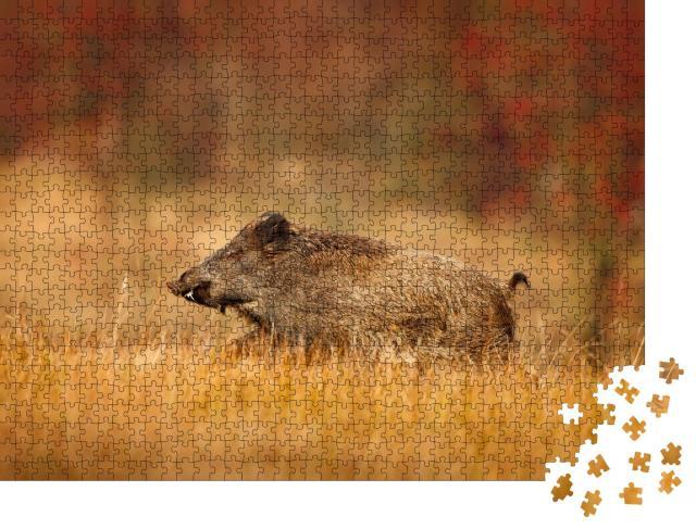 """Puzzle 1000 Teile """"Herbst im Wald: großes Wildschwein, Sus scrofa, läuft auf einer Wiese"""""""