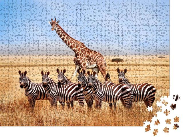 """Puzzle 1000 Teile """"Gruppe von Zebras und Giraffe in der afrikanischen Savanne, Tansania"""""""