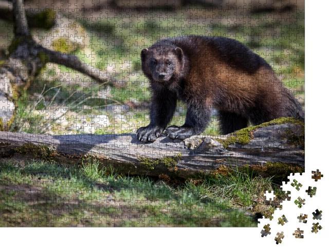 """Puzzle 1000 Teile """"Szene aus der Natur: Vielfraß auf einem umgestürzten Baum"""""""