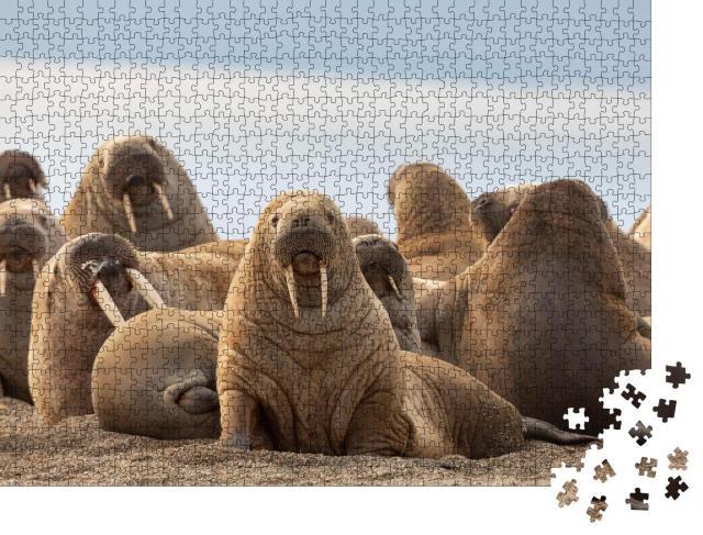 """Puzzle 1000 Teile """"Gruppe von Walrossen am Sandstrand, Svalbard, Blick in die Kamera"""""""