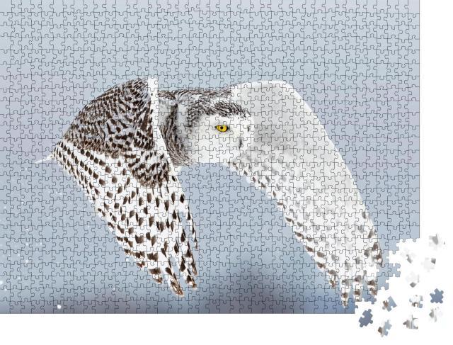 """Puzzle 1000 Teile """"Schneeeule, Bubo scandiacus, hebt ab und fliegt jagend über ein Feld, Ottawa, Kanada"""""""