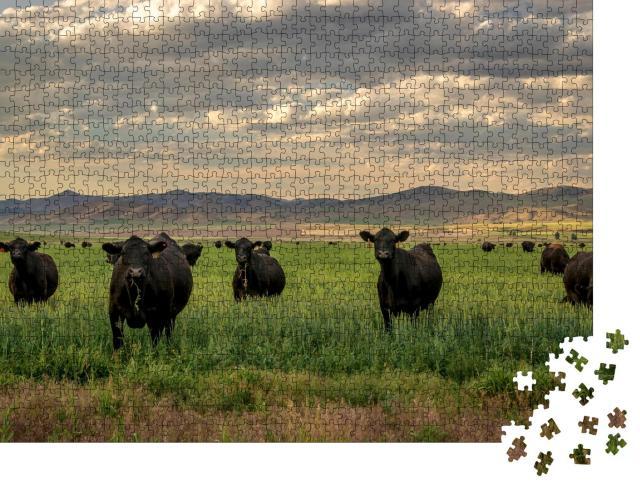 """Puzzle 1000 Teile """"Herde von Black-Angus-Rindern im Grasfeld"""""""