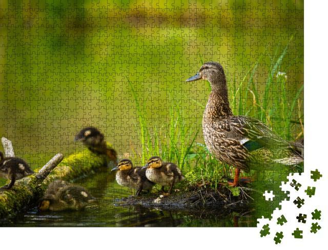"""Puzzle 1000 Teile """"Stockentenweibchen mit kleinen Entenküken an einem Fluss"""""""