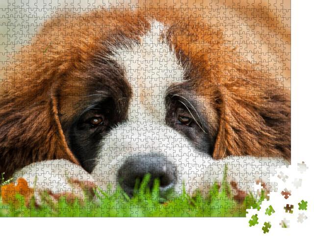 """Puzzle 1000 Teile """"Porträt eines Bernhardinerwelpen, der im Gras liegt"""""""