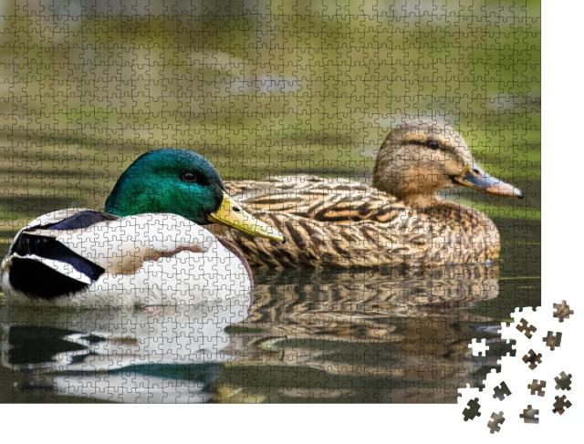 """Puzzle 1000 Teile """"Männliche und weibliche Stockente schwimmen auf einem Teich mit grünem Wasser"""""""