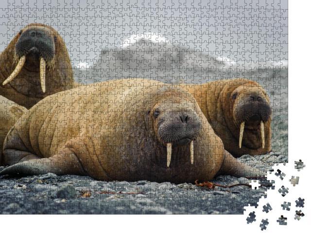 """Puzzle 1000 Teile """"Walrosse liegen an einem Strand in der Arktis, auf Franz Josef Land, Wildtiere"""""""