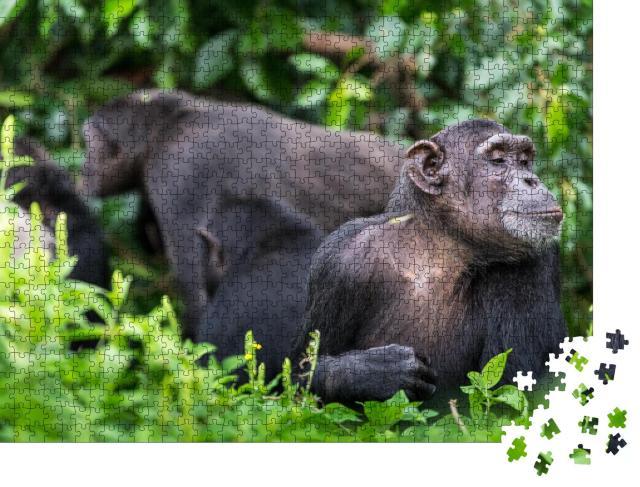 """Puzzle 1000 Teile """" Schimpansengruppe im Hintergrund und erwachsener Affe"""""""