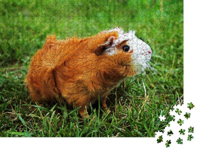 """Puzzle 1000 Teile """"Rotes Abessinier-Meerschweinchen auf grünem Gras"""""""